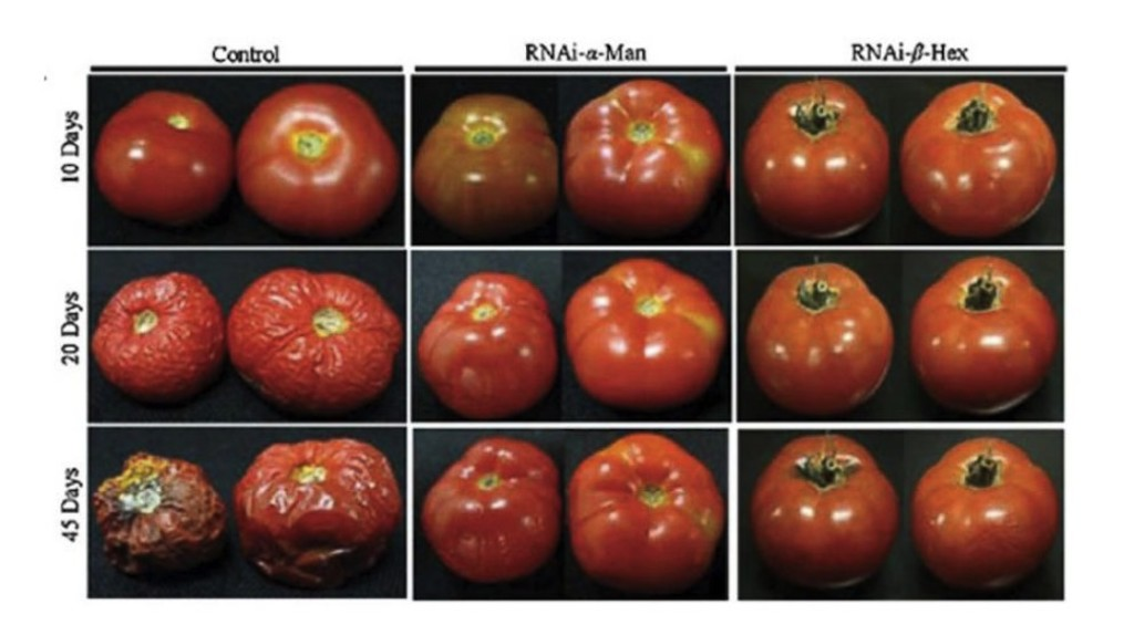 Control tomatoes' deterioration versus genetically modified tomatoes. Notice that genetically modified tomatoes could last longer than 45 days. (Photo Courtesy Assis Datta via ABC News)