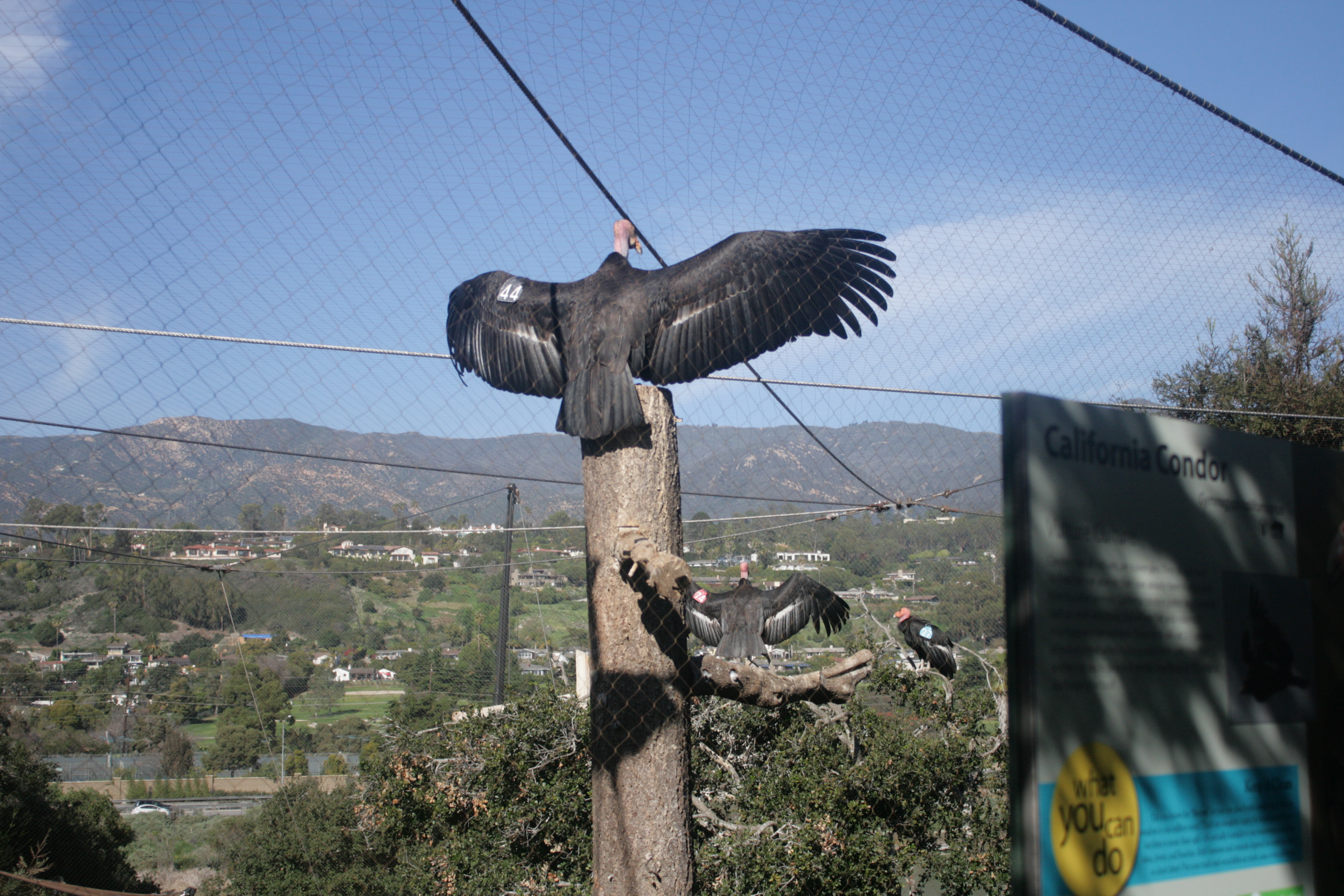 The features of the california condor and its development