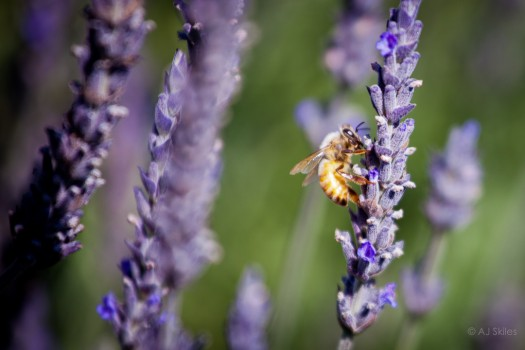 Bees and lavender.