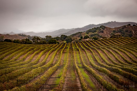 Vineyard in the Santa Ynez Valley.