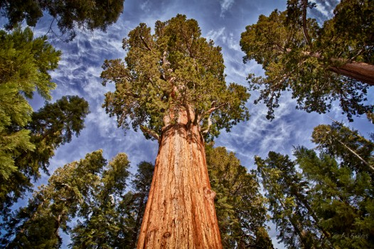 The famous General Sherman Tree, Sequoia national Park.