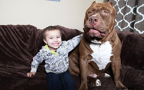 175 pound Hulk made headlines as the largest and friendliest Pit Bull on the planet.