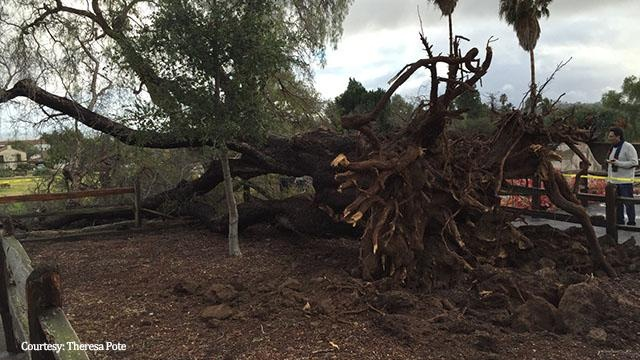 The wind and rain was so strong it knock down a 19th Century pepper tree at the Old Santa Barbara Mission.