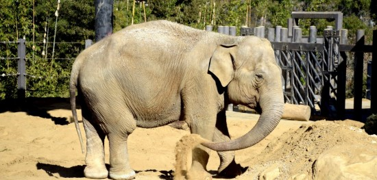 Week 4-No sweat glands, speed up to 4 mph and largest land mammal only adds up to the Asian Elephant named Mac at the SB Zoo. -Travis Spencer