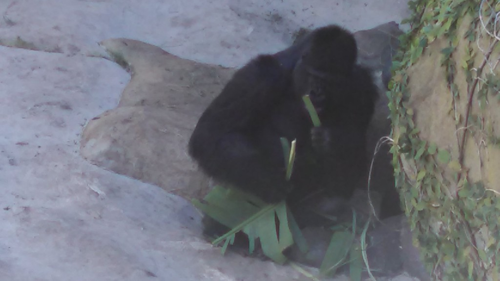 Day at the Zoo: What does the Gorilla think about you?