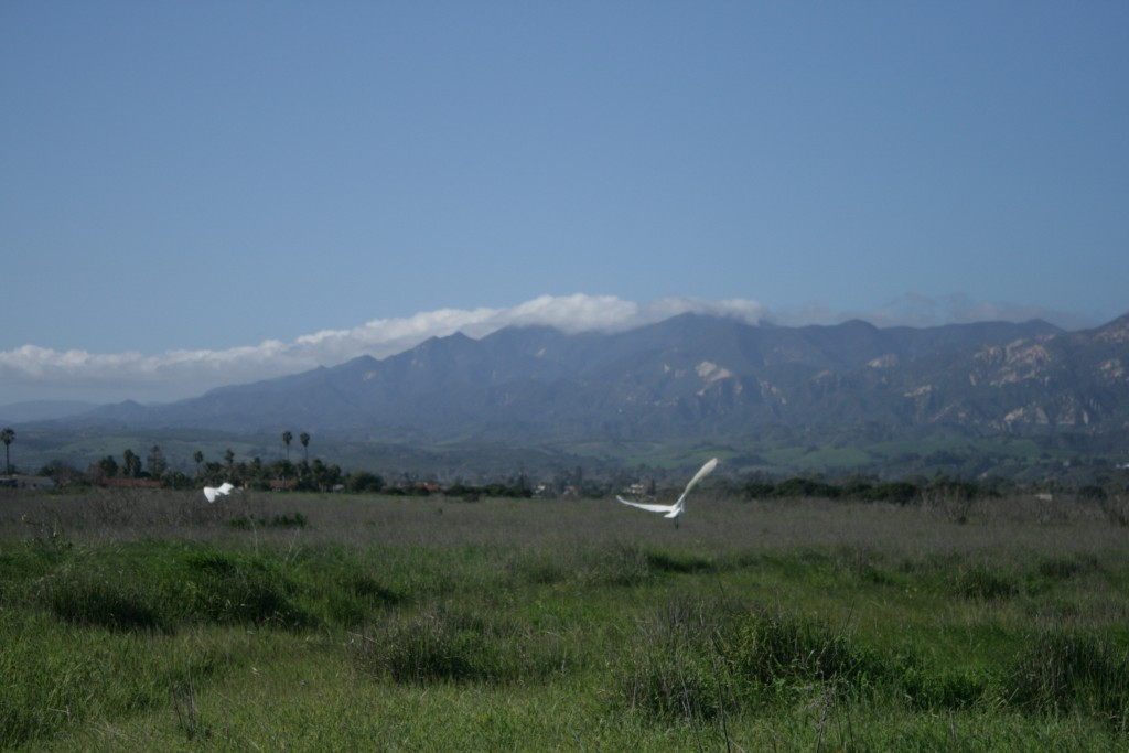"""Egret in flight in More Mesa, Goleta"" (Picture by Sarah Villalobos)"