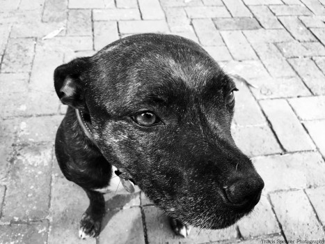 Meet Tippy. This beautiful English Staffordshire Bull Terrier needs weights to go on a walk but at night can snuggle like boss. - Travis