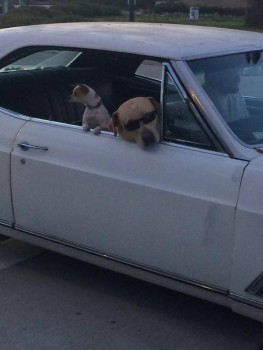"INSIDE this car you'll find OUTstanding dog's cruising around downtown Santa Barbara, CA. Though I'm from the city Gothenburg in Sweden, I'm actually allowed to make bad jokes like this though it's one of the most important skills to master as a true ""Göteborgare""– Carolina Bengtsson"