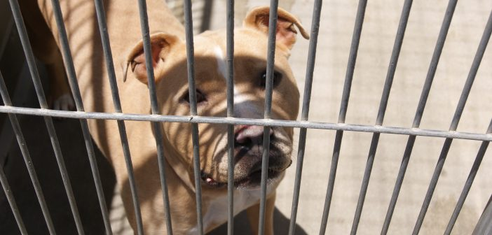 How Breed Specific-Legislation is Affecting Animal Shelters